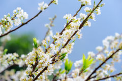 Whit Plum. Tree with blue background. Not Cherry royalty free stock photo