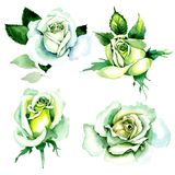 Whit roses. Floral botanical flower. Wild spring leaf wildflower isolated. Aquarelle wildflower for background, texture, wrapper pattern, frame or border royalty free illustration