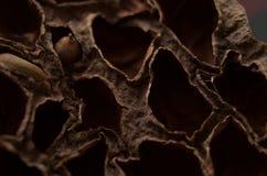 Whit seco do fruto uma semente para dentro Imagem de Stock Royalty Free