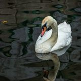 Whit swan in the river royalty free stock image