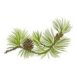 Whit van de pijnboomtak pinecones vectorillustratie Royalty-vrije Stock Foto's