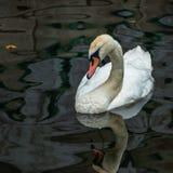 Whit zwaan in de rivier royalty-vrije stock afbeelding