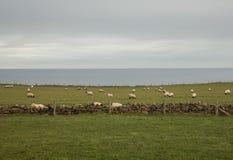 Whitby - een landbouwbedrijf buiten de stad - schapen in de weiden stock foto