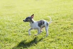 Whitby-Hund Lizenzfreie Stockfotografie