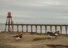 Whitby, Yorkshire, Inglaterra - pájaros en la orilla del mar Fotografía de archivo libre de regalías