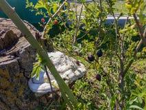 Whitchampinjon på den gamla förra året busken arkivfoto