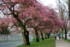 Whitcomb樱桃花在温哥华 库存照片