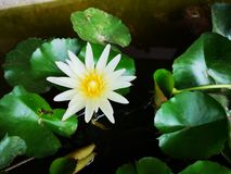 White​ lotus blooming with ​lotus leaves on the​ pond. And reflect​on water surface stock images