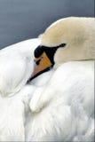 white łabędzie Zdjęcia Royalty Free