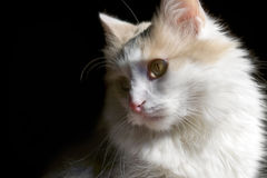Сat white. Home cat white on black background Stock Photography