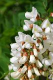 White acacia. Blossoms (close-up royalty free stock photography