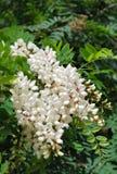 White acacia. Blossoms (close-up stock photography