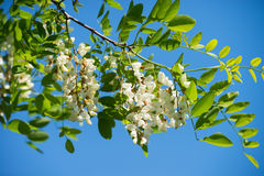 White acacia bloomed stock image