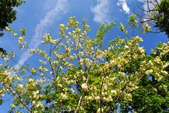 White acacia blooming tree brunches with green leaves and acer tree on blue cloudy spring sky. Background stock image