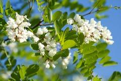 White acacia blossom Stock Image