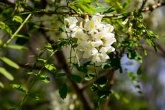 White acacia flower closeup Robinia pseudoacacia. Acacia tree bloom Stock Photography