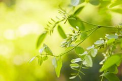 White acacia flowering in a sunny day. royalty free stock photo