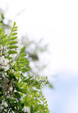 White acacia flowers Stock Images