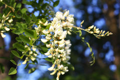 White acacia flowers Stock Photography