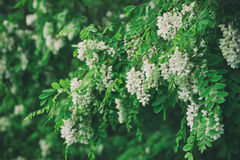 White acacia flowers Royalty Free Stock Photography