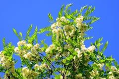 White acacia flowers on blue sky background Royalty Free Stock Photo