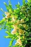 White acacia flowers on blue sky background Stock Photo