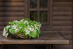 White acacia flowers with leaves lie in a wicker basket royalty free stock photos