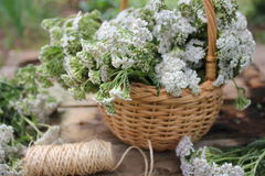 White Achillea Millefolium Stock Photos