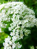 White achillea millefolium flowers close-up natural background stock photos
