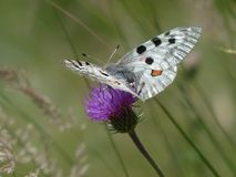 White Ad Black Butterfly Perching on Purple Petal Fower Stock Images