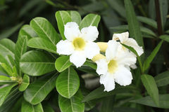 White Adenium blooming or Adenium obesum Royalty Free Stock Photo