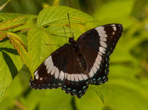 White Admiral Stock Photo