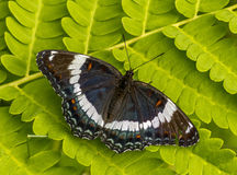 White Admiral Stock Photography
