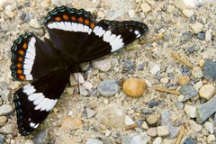White Admiral Butterfly stock photography