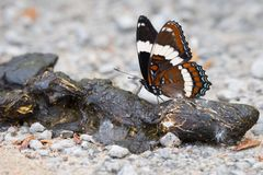 White Admiral Butterfly Feeding on Poo Royalty Free Stock Image