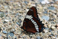 White Admiral Butterfly. On gravel path Royalty Free Stock Photo