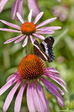 White Admiral butterfly (Limenitis arthemis) Stock Image