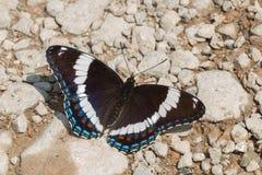 White Admiral Butterfly - Limenitis arthemis stock image