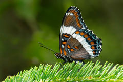 White Admiral Stock Image