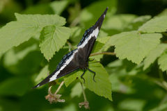 White Admiral Butterfly Stock Images