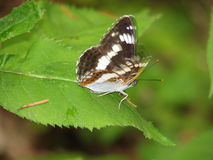 White admiral, Ladoga camilla Royalty Free Stock Photography