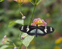 White Admiral (Limenitis camilla) Royalty Free Stock Photography