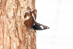 White Admiral Royalty Free Stock Photos