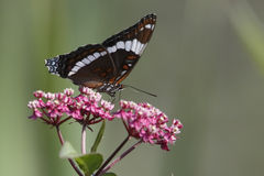 White Admiral Nectaring on Milkweed - Ontario, Canada Stock Photography
