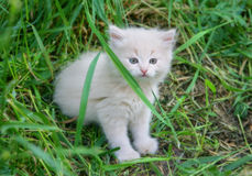 White adorable kitten. Standing in the green grass Stock Images