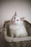 White Adorable Kitten Sitting In A Wicker Basket Stock Photo