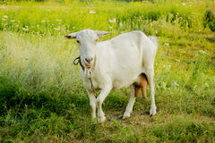 White adult goat on a leash. White adult mother goat on green grass Stock Photos