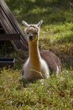 An adult lama in the shade stock photography
