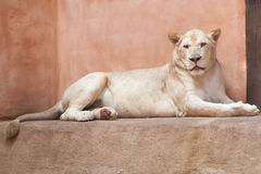 White adult lion lioness is looking at you stock photo