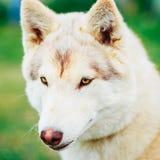 White Adult Siberian Husky Dog, Sibirsky Husky Stock Photography